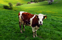 Brown and white cow on a field of green grass